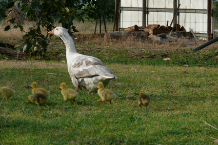 Mummy goose and hers babies
