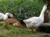 tolovegeese01