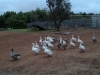 tolovegeese04